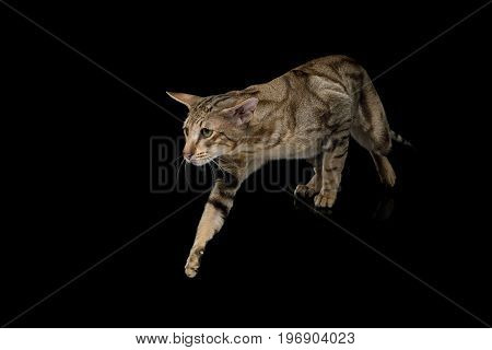 Green Eyed Oriental Cat With Tabby fur and Big Ears Walk on Black Isolated Background