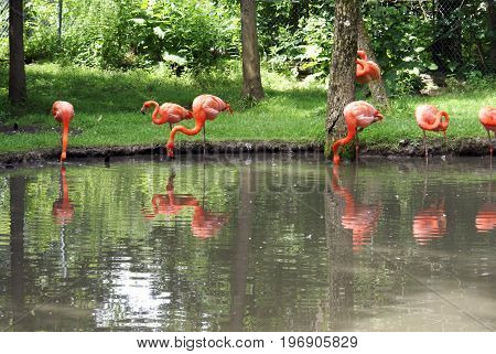 A view from the other side of the pond of pink flamingos gathered for a feast.