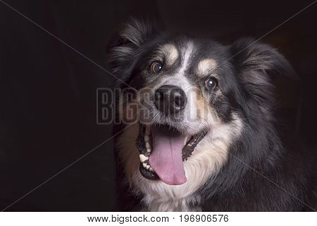 Gorgeous black and white sheep dog with his mouth open on a black background