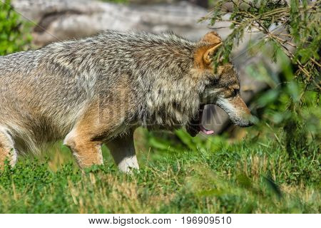 grey european wolf with mouth gaping open