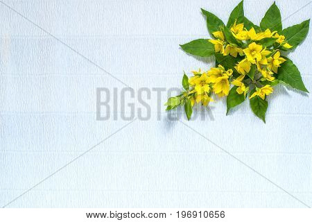 Festive flower arrangement. Flowers loosestrife (lysimachia) in yellow packing on blue textured background. Top view flat lay