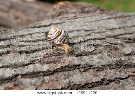 Small Vivid Burgundy Snail (helix, Roman Snail, Edible Snail, Escargot) Crawling On The Trunk Of Old
