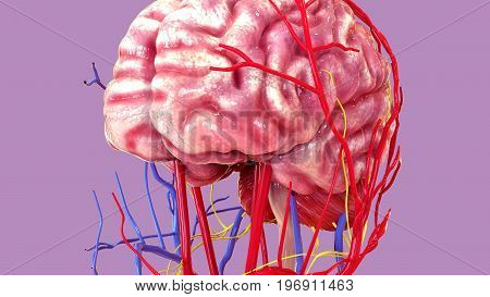 3d illustration of human body organ (brain anatomy)