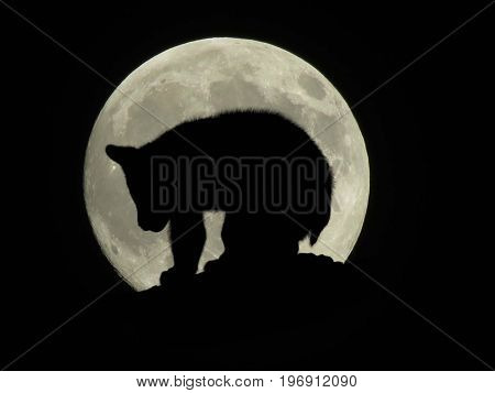 bear cub on log in front of the full moon silhouette