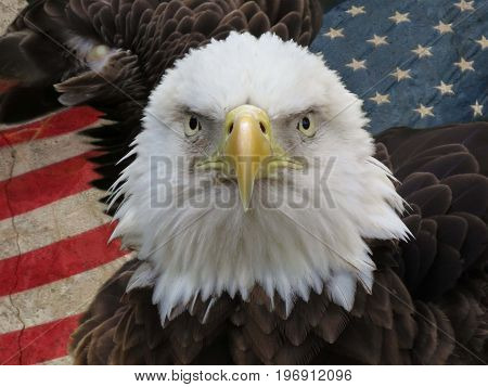 bald eagle head shot in front of the United States of America Flag