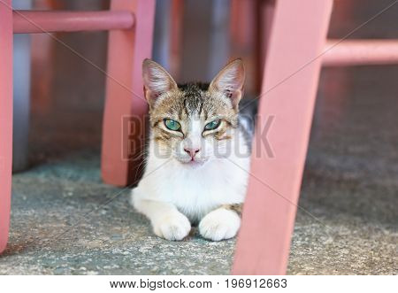 beautiful cat with green eyes sitting under the chairs at a greek tavern