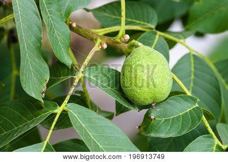 Green Walnut Fruit On Tree In Summer Season