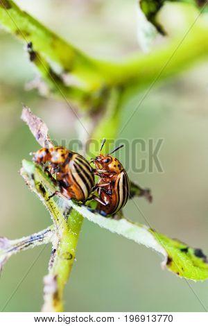 Two Colorado Potato Beetles On Potato Bush