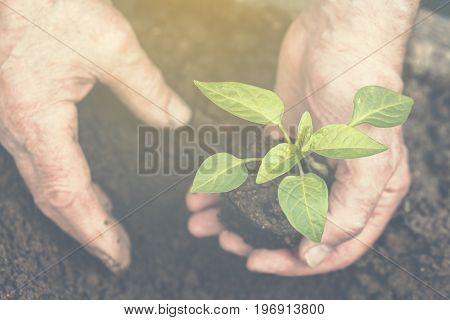 The old man's hands are planting the seedling into the soil. Toned