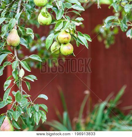 Branch Of Pear Tree On Backyard In Summer