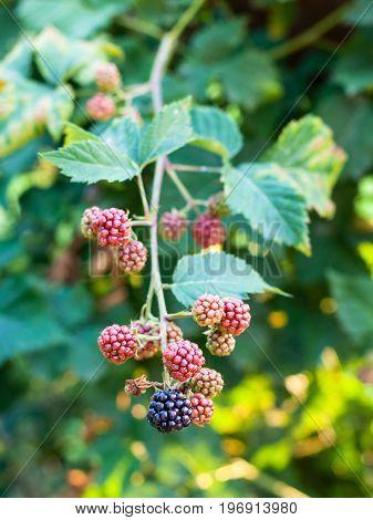 View Of Blackberries On Twig In Summer Season