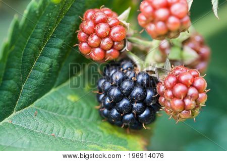 Blackberries On Leaf Close Up In Garden