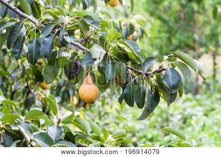 Branch With Ripe Pear Fruits In Garden In Summer