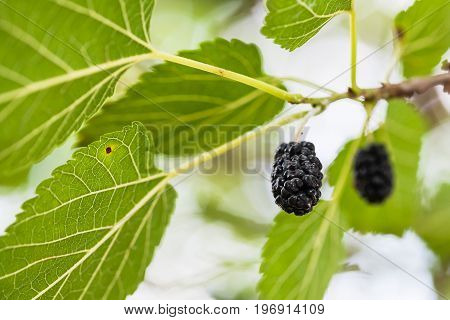 Ripe Black Fruits On Mulberry Tree Close Up