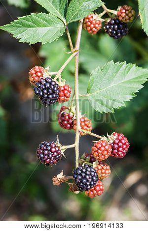 View Of Twig With Ripe Blackberries In Summer
