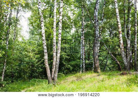 Birch Grove In Forest In Summer