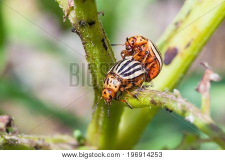 Couple Of Colorado Beetles On Potato Bush Close Up