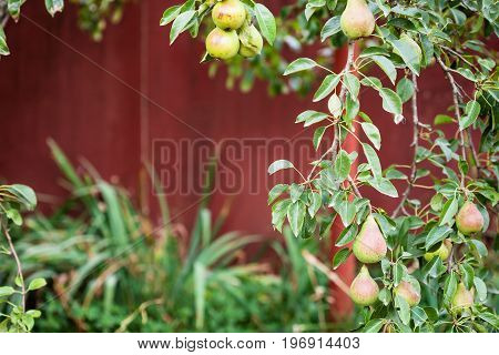Branch Of Pear Tree With Fruits On Backyard