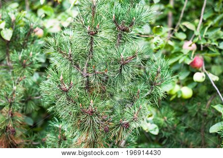 Ornamental Pine Tree And Apple Trees In Garden