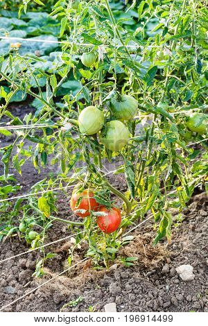 Ripening Tomatoes On Bushes In Garden In Evening