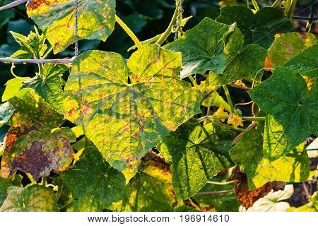 Leaves Of Cucumber Plantation In Garden