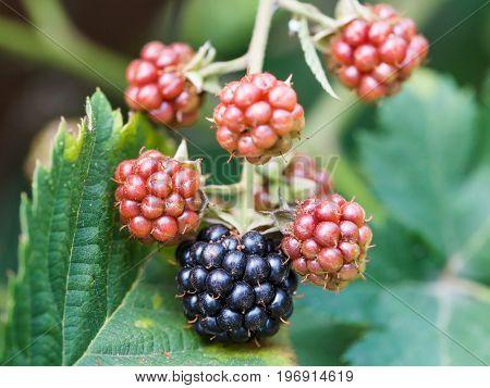 Blackberries On Leaves Close Up In Garden