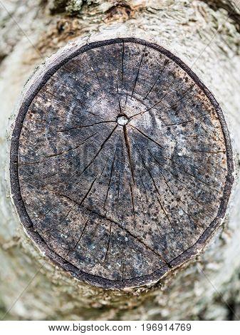 cross section of walnut tree branch close up in Krasnodar region of Russia