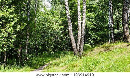 Birch Trees Near Path In Forest In Summer
