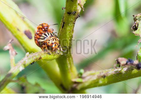Pair Of Colorado Beetles On Potato Bush Close Up