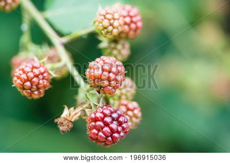 Unripe Blackberries On Twig Close Up In Summer