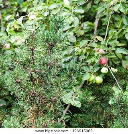 Branch Of Pine Tree And Apple Trees In Garden
