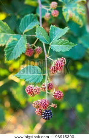 View Of Blackberries On Twig In Summer Evening