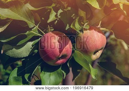 Two beautiful red Apple hanging on the branch of a tree on a Sunny fall day. The horizontal frame.