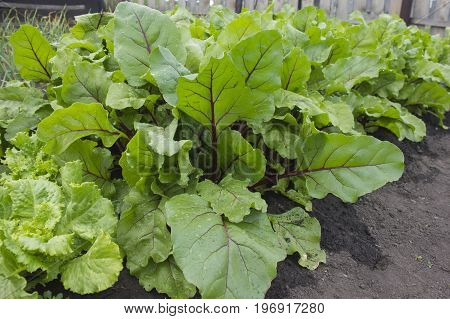 Beet leaves and green lettuce leaves. The harvest in the garden