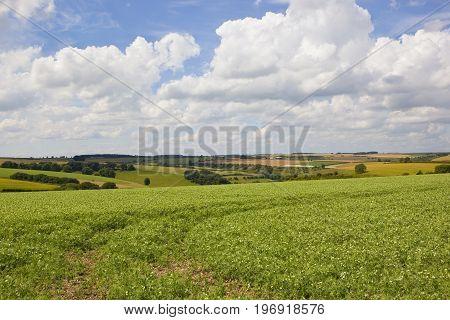 Scenic Pea Field