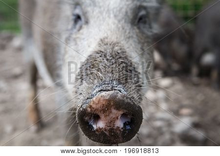 Wild boar. Close-up of wild boar nose