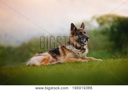 German Shepherd lies on the green grass in the park close-up.