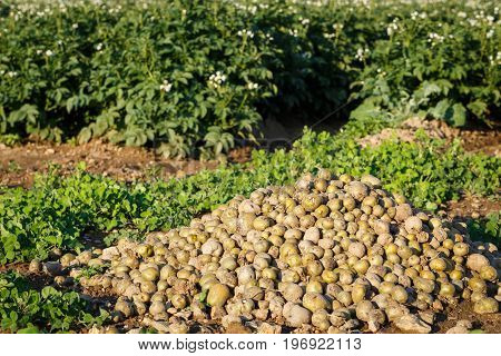 Harvesting In A Potato Field. Potato Flowers Blooming In The Field.