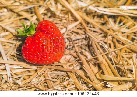 Ripe fresh picked strawberries laying on the hay ground.