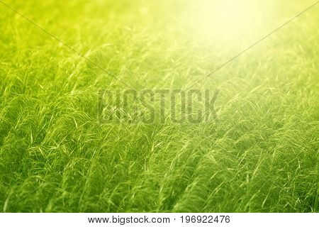 Green grass in a field in the sunlight.Wind in a field with green grass.