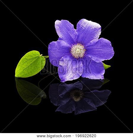 Flower clematis plants purple with a green leaf on a black background with a real reflection isolated