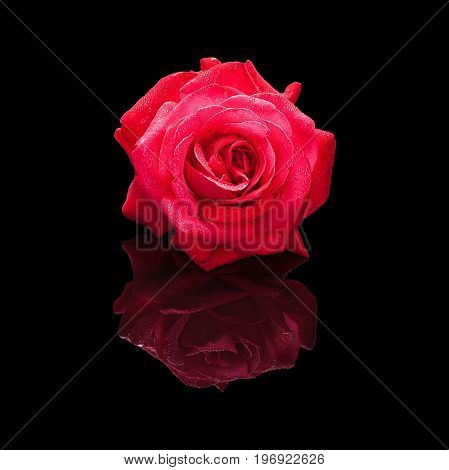 Red rose flower with water drops isolated on a black background with a natural reflection. Front view.