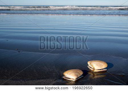 Two sea shells at the beach Sumner Beach near Christchurch Canterbury South Island New Zealand