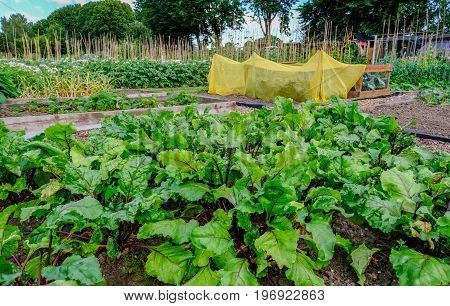 Allotment plot with a crop of beetroot growing. Crop looks very healthy and organic.