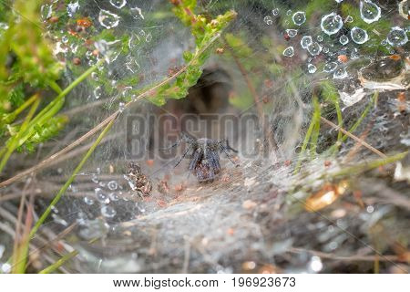 Labyrinth Spider (agelena Labyrinthica) In A Rain Or Dew Covered Web, Showing Retreat Behind.
