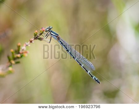 Female Common Blue Damselfly (enallagma Cyathigerum) Hanging From A Flowering Heather Flower