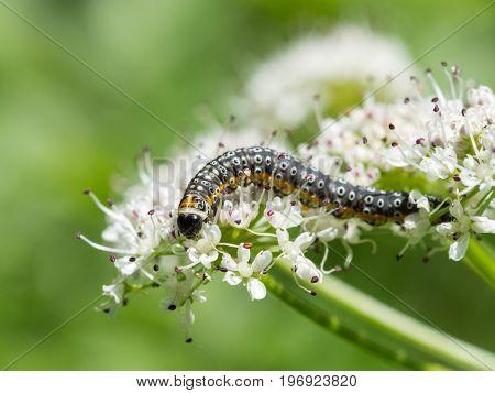 Depressaria Daucella Moth Caterpillar Larvae Larva Feeding On Water Dropwort