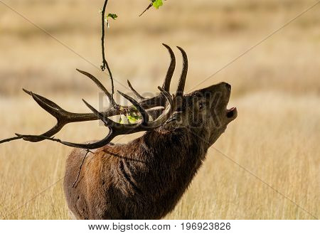 Red Deer (cervus Elaphus) Stag Roaring Calling Or Bugling And Using Antlers To Mark Territory On Oak
