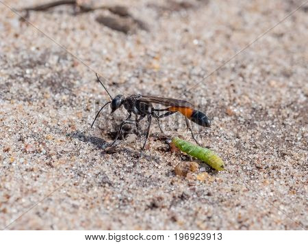 Heath Sand Wasp (ammophila Pubescens) With Larva Grub Prey To Stock Its Burrow