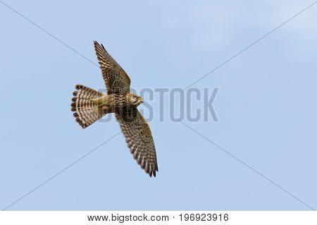 Common Kestrel (falco Tinnunculus) In Flight Or Flying Against Blue Sky